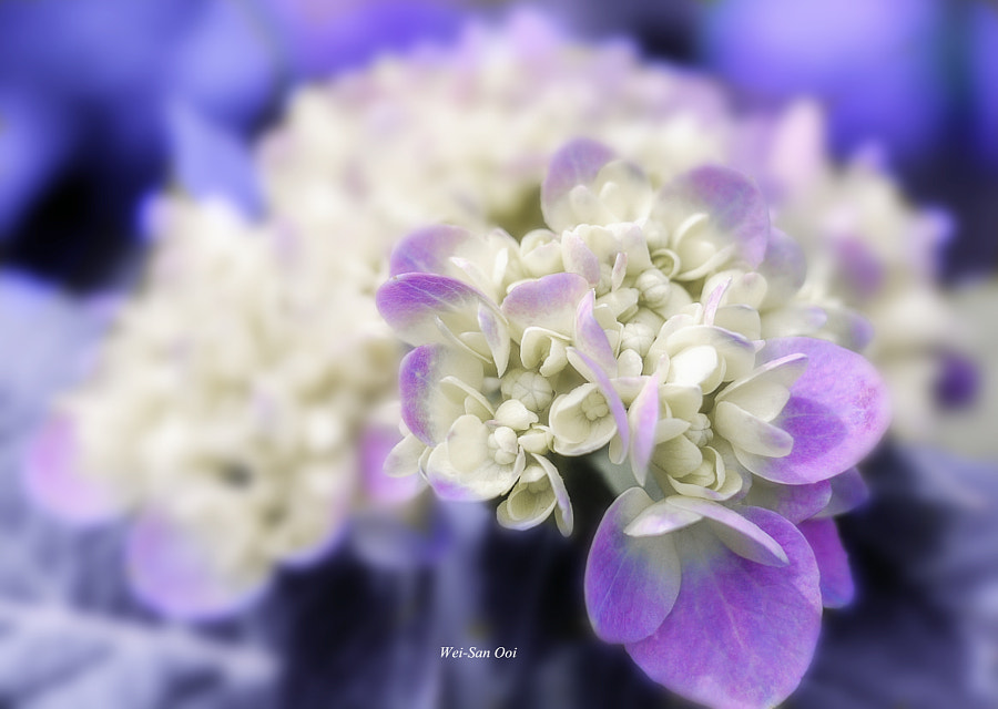 Photograph Hydrangea by Wei-San Ooi  on 500px
