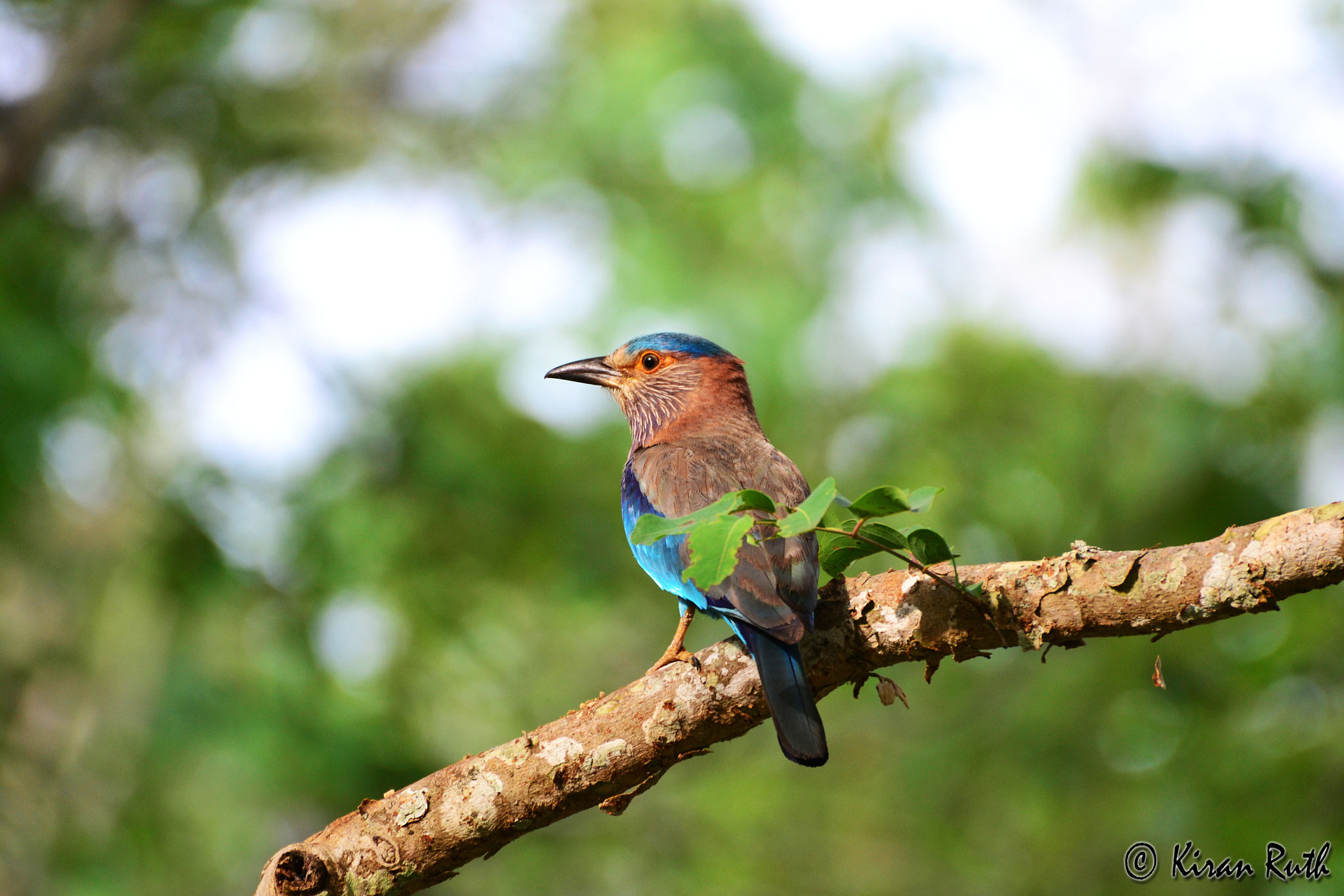 Photograph Indian Roller/ Blue jay by Kiran Ruth on 500px