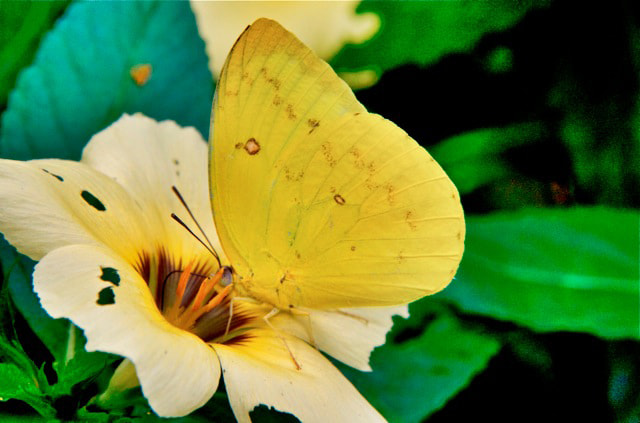 Photograph Penang Butterfly  by Tina Watt on 500px