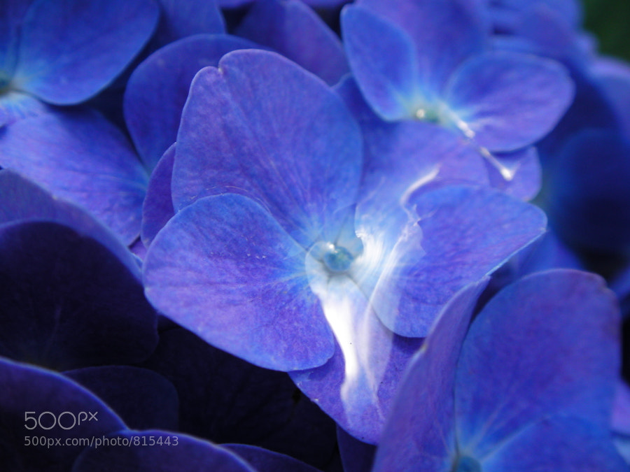 Photograph Hydrangea. by dekunobou net on 500px