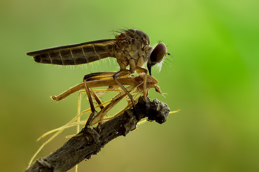 Photograph Ginseng Prey by Danniel Partogi on 500px