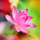Lotus flower ~荷花 ~