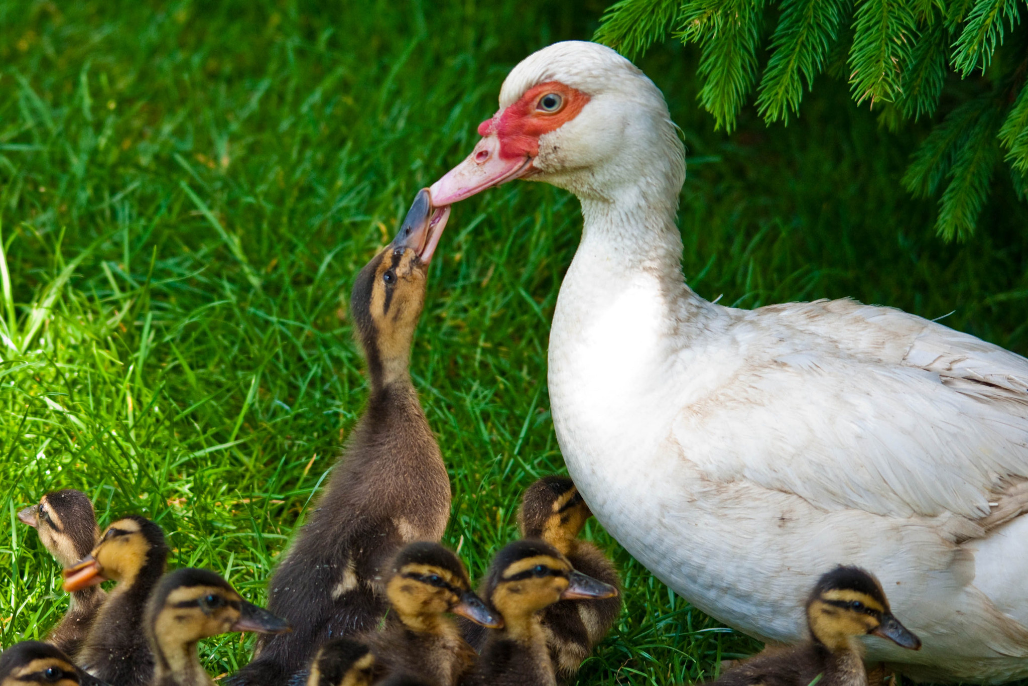 Photograph duck's school (16) by Vlado Ferencic on 500px