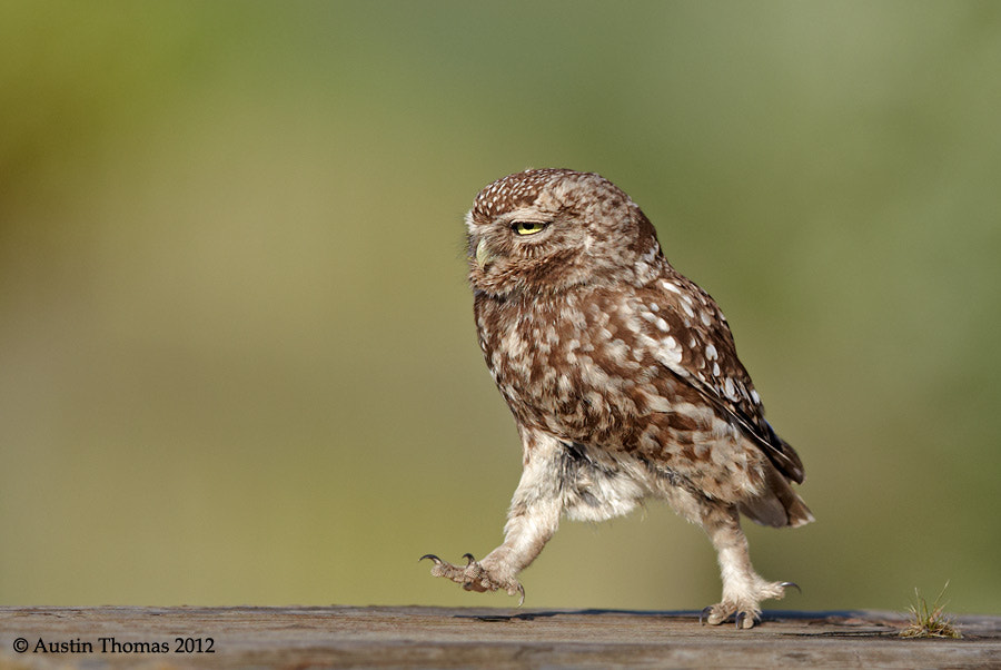 Photograph Marching Little Owl... by Austin Thomas on 500px