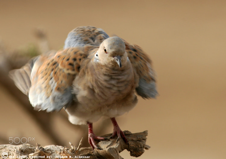 Photograph Dove by Ibrahem ALnassar on 500px