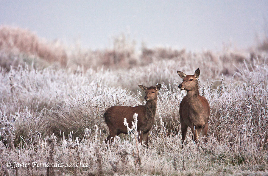 Photograph Deer and hoar-frost by Javier Fernández Sánchez on 500px
