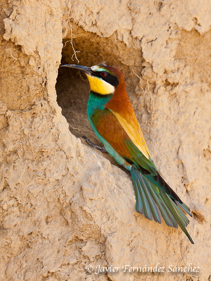 Photograph Bee-eater in the nest by Javier Fernández Sánchez on 500px