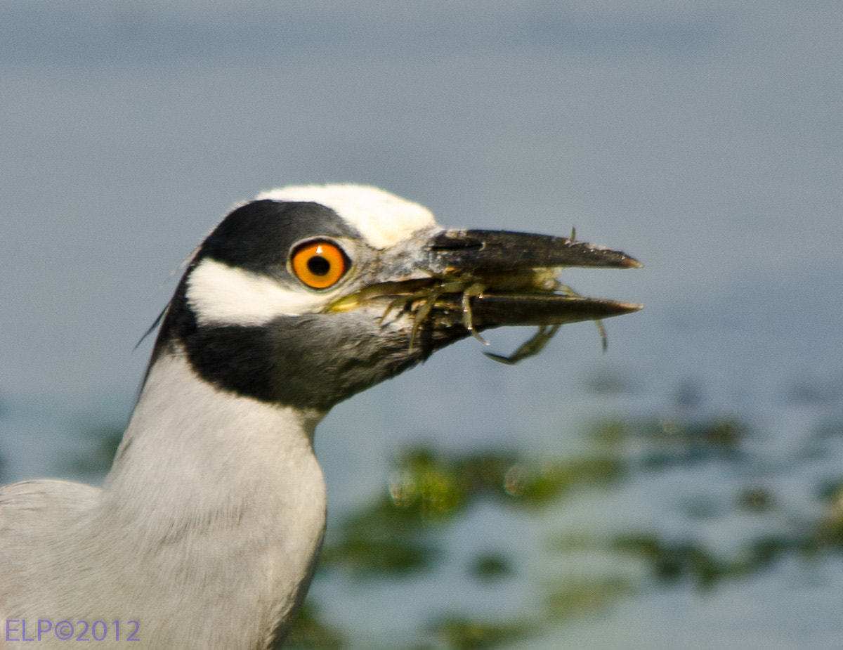 Photograph Yellow Crown Night Heron eating a crab by Ed  Logan on 500px