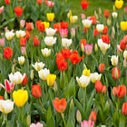 Постер, плакат: Plenty tulips mix grow in garden