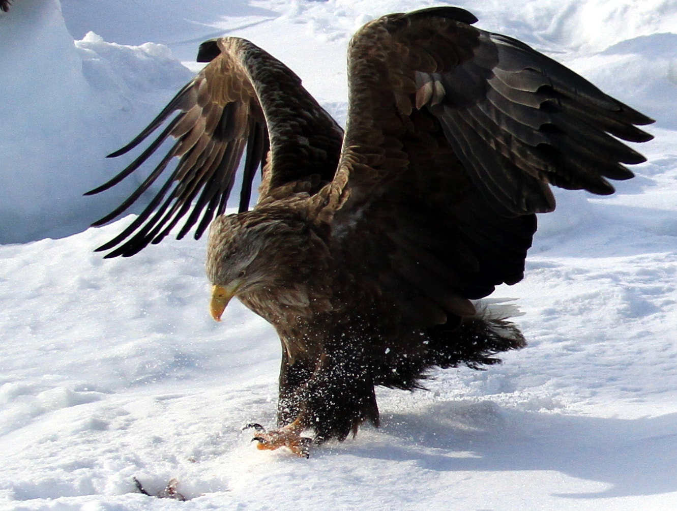 Photograph White Tailed Sea Eagle  by K.K Ho on 500px