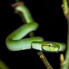 Постер, плакат: Young and curious pit viper