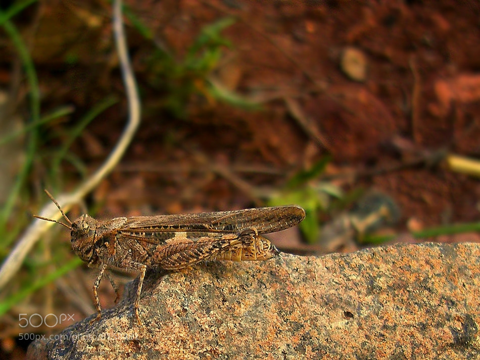 Photograph camouflaged grasshopper by Salih Demir on 500px
