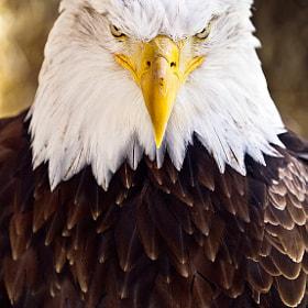 Aguila Calva Americana
