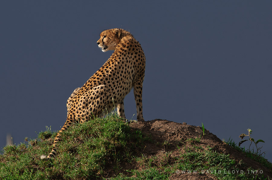 Photograph A Cheetah's Lookout by David Lloyd on 500px