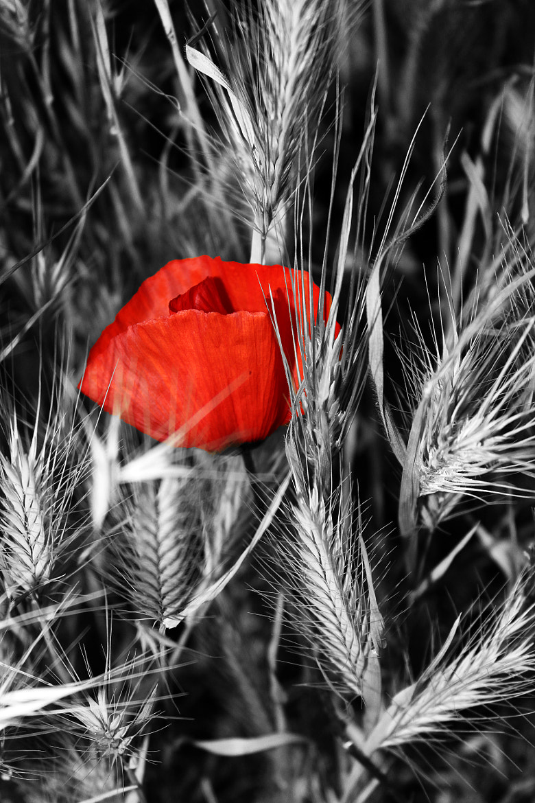 Photograph The poppy&the neighbors by Tassos  Tsaprazis on 500px