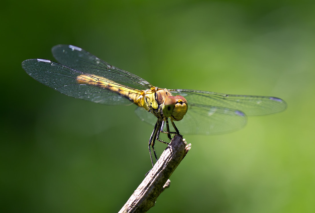 Photograph Dragonfly 2 by iman mehr on 500px