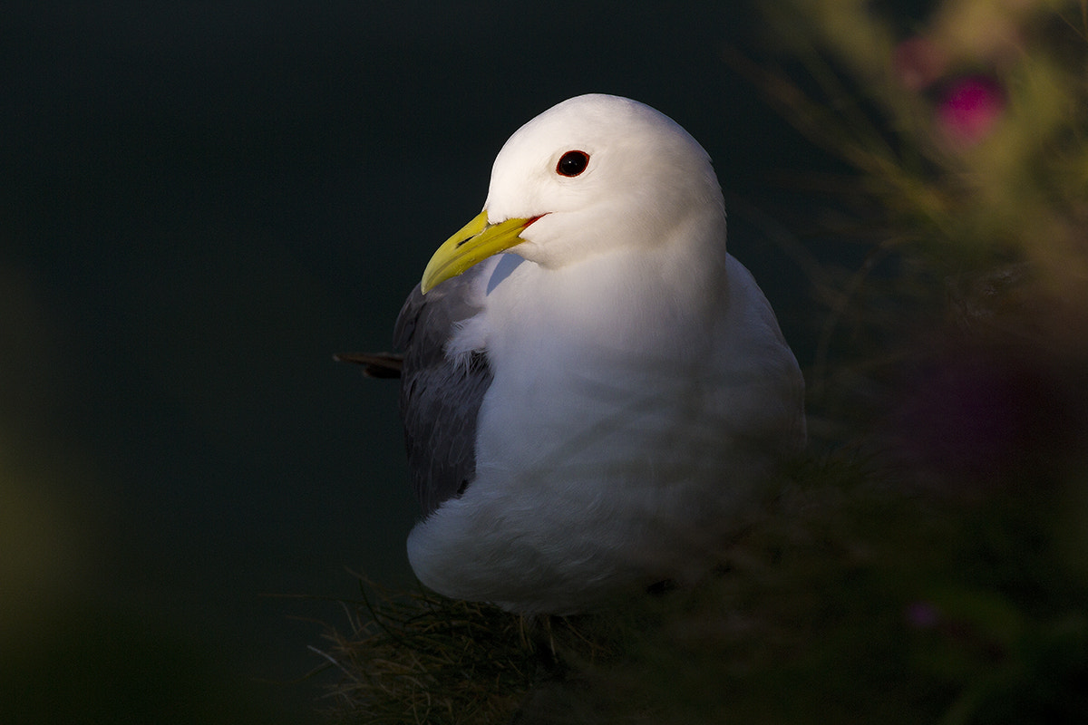 Photograph Kittiwake by Craig McCann on 500px