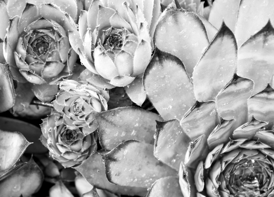 Photograph succulent in black and white by Papanikolaou Joanna on 500px
