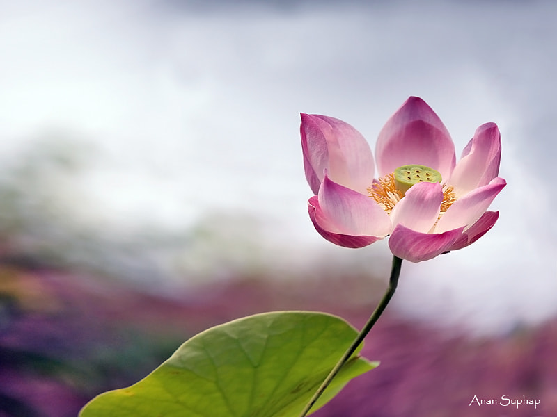 Photograph Lotus by Anan Suphap on 500px