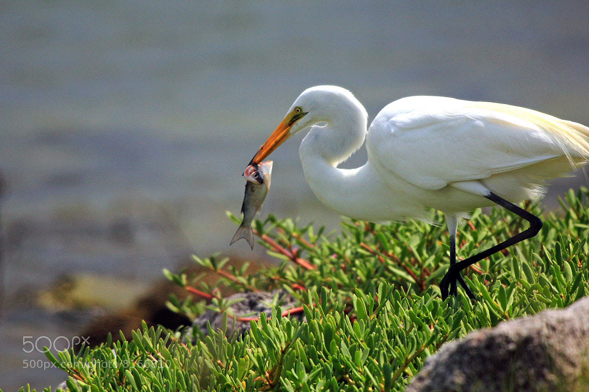 Photograph Dinner for Egret by Dorothy Cunningham on 500px