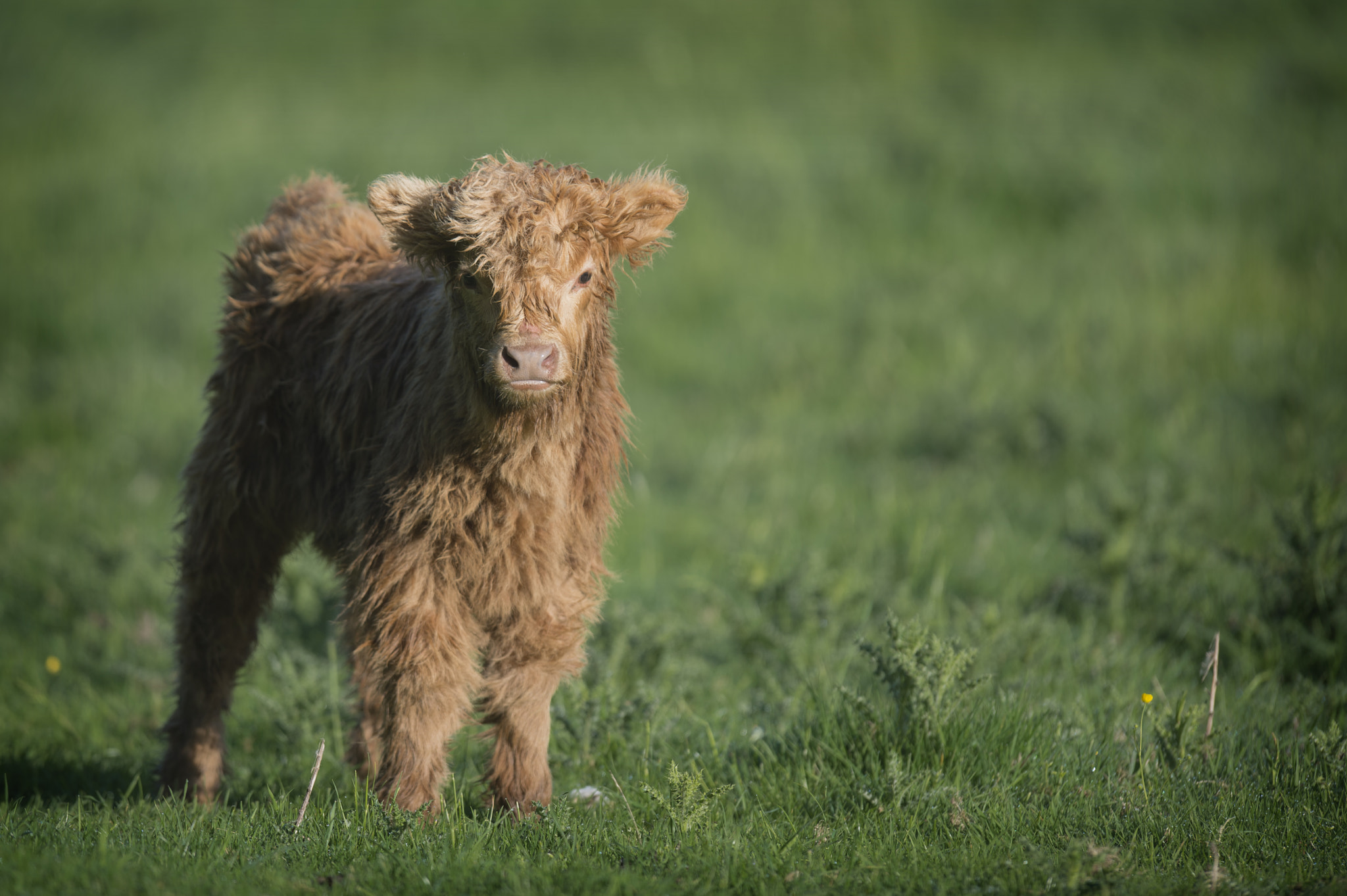 Photograph Baby Highland Cow by Villager Jim on 500px