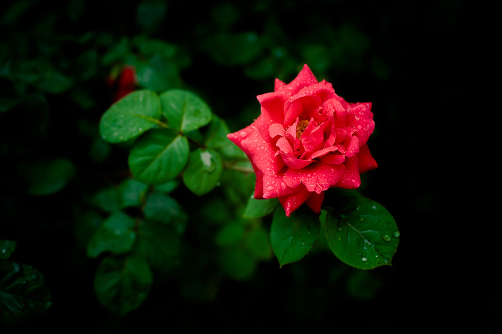 Photograph Chinese rose by 白 菜 on 500px
