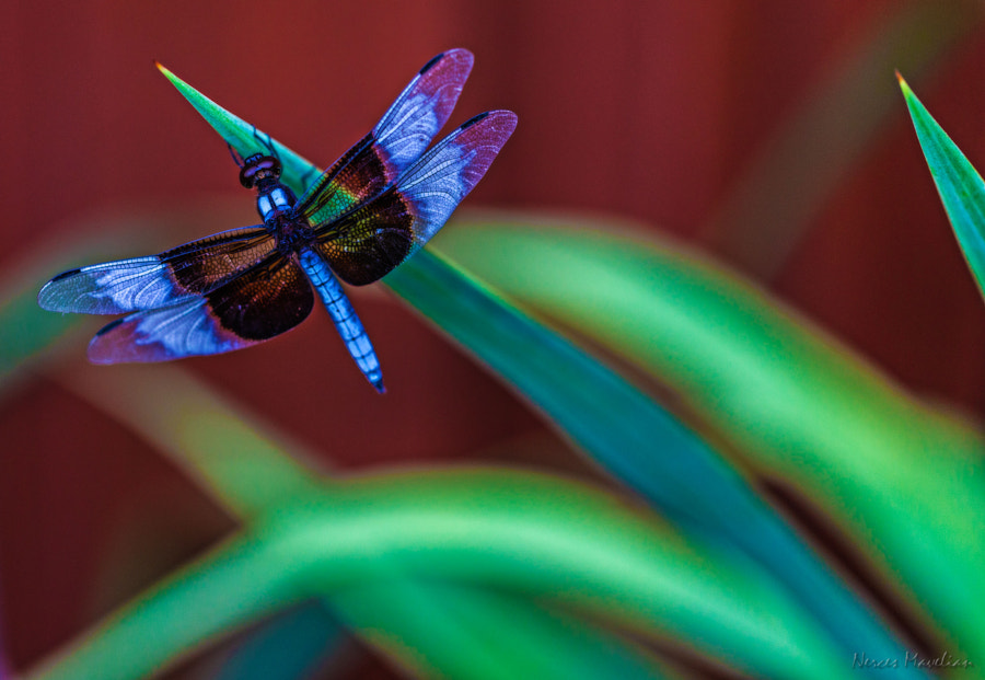 This Dragonfly waited long enough for me to get my camera and capture this shot.