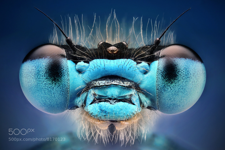 Photograph Blue damselfly by Kvejlend (Dusan Beno) on 500px