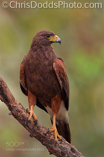 Photograph Harris's Hawk by Christopher Dodds on 500px