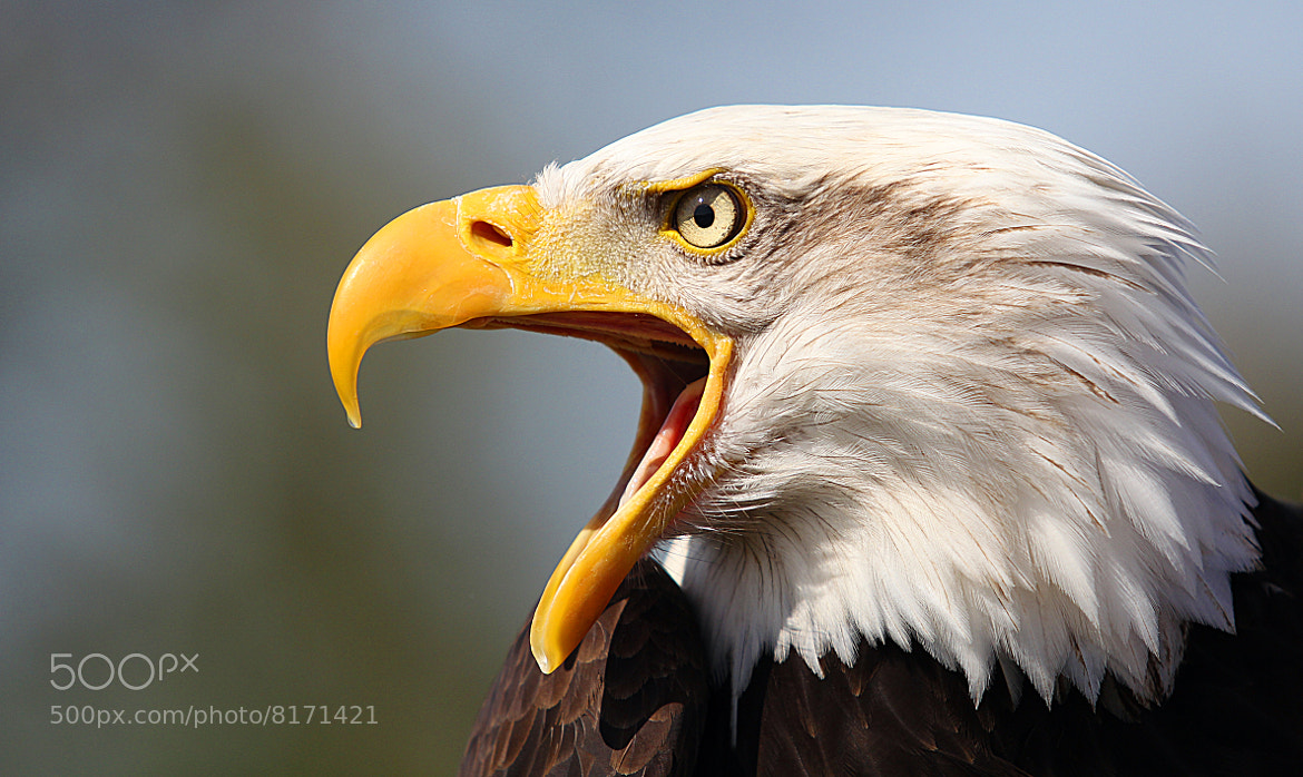 Photograph American Bald Eagle  by Mark Dargan on 500px