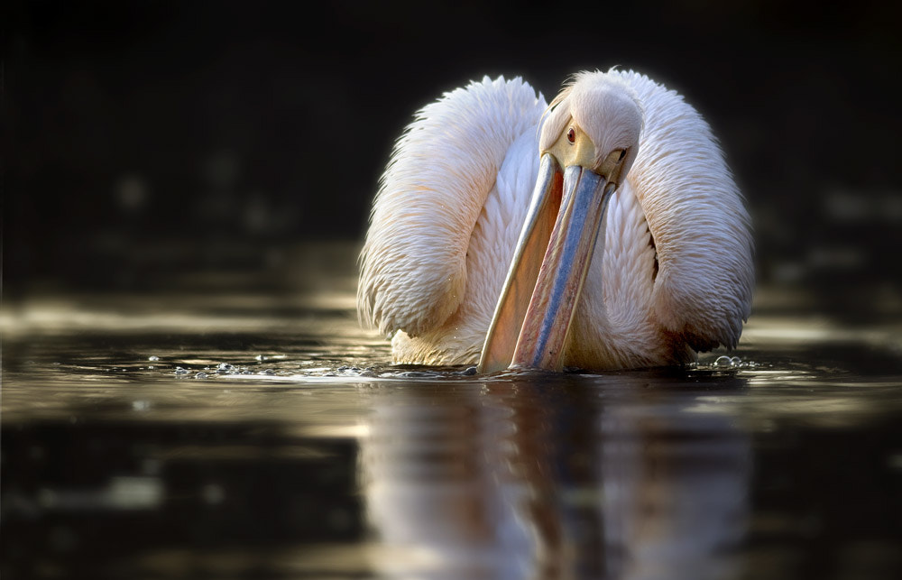 Photograph Pelican by Alessia Noè on 500px
