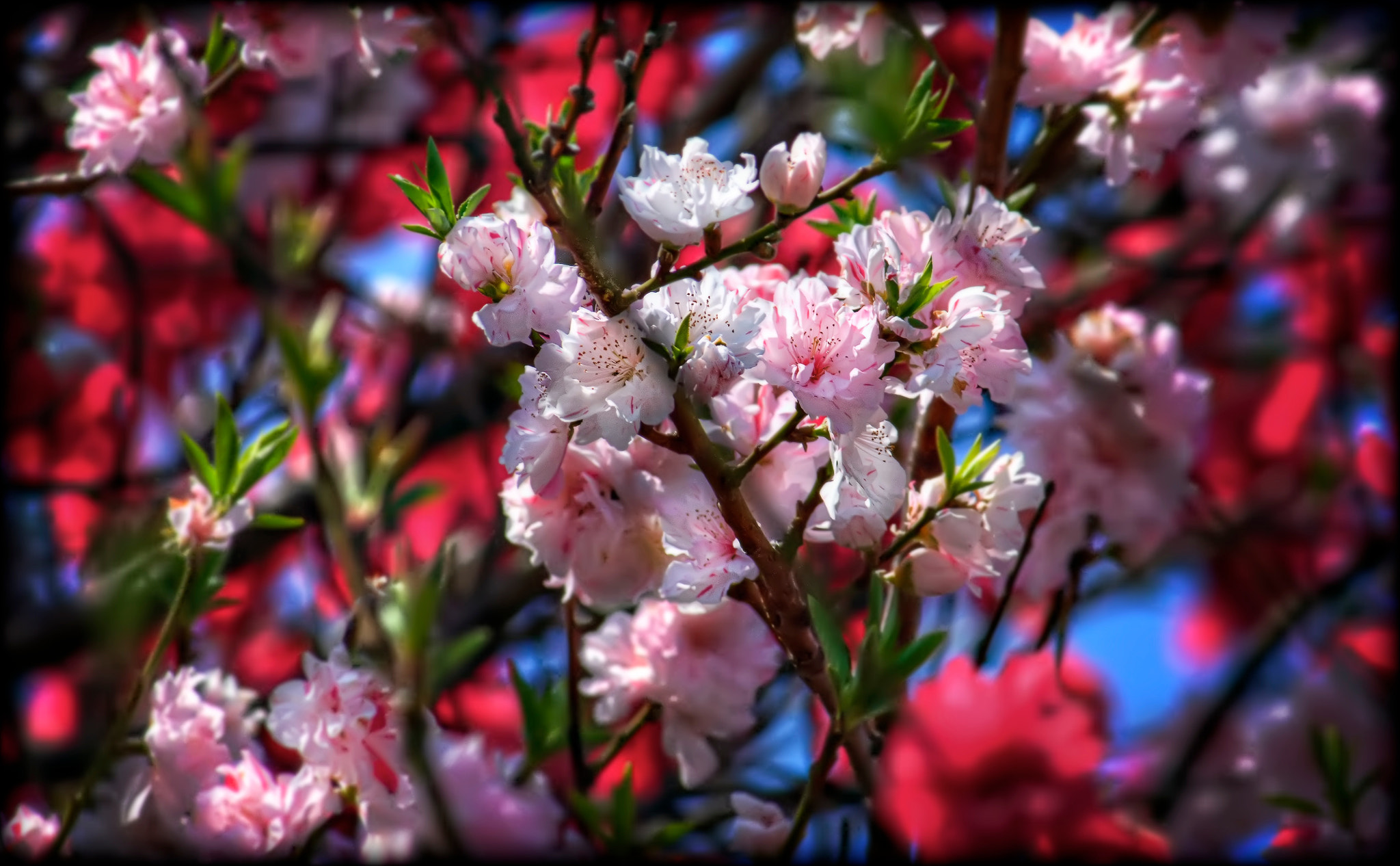 Photograph Red, White, and Pink Sakura by David LaSpina on 500px