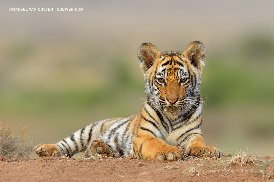 Photograph Cutie Pie by Marsel van Oosten on 500px