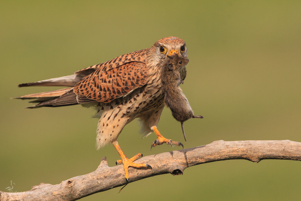 Photograph Common Kestrel with Mous by Gerhard Kummer on 500px