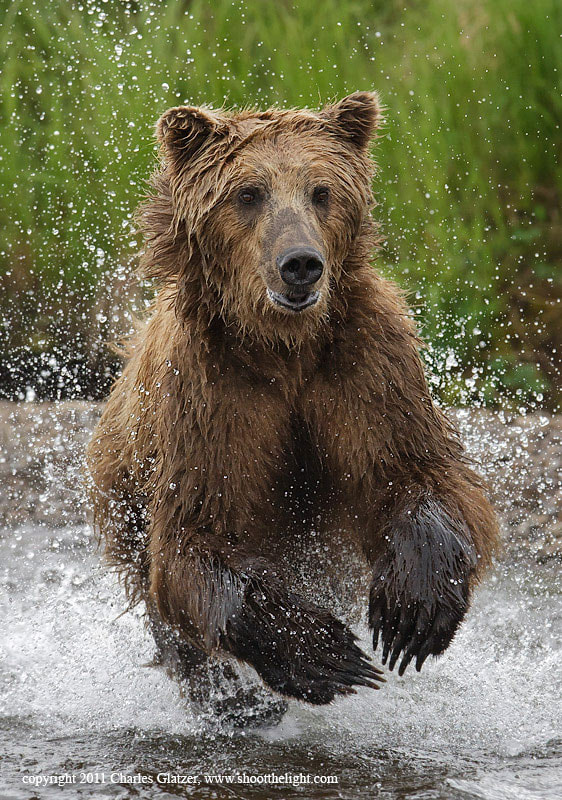 Photograph Brown bear  by Charles Glatzer on 500px