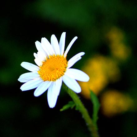 Daisy, Daisy......
