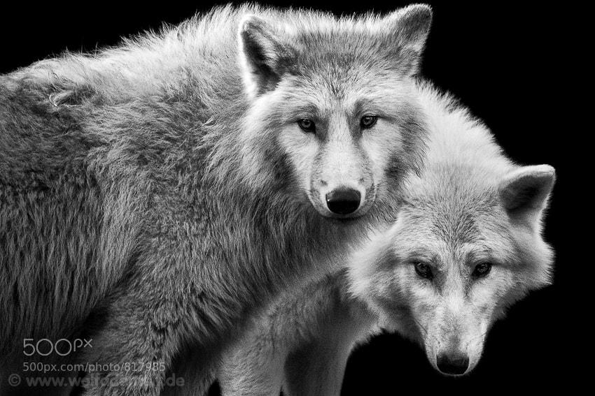 6 white wolves