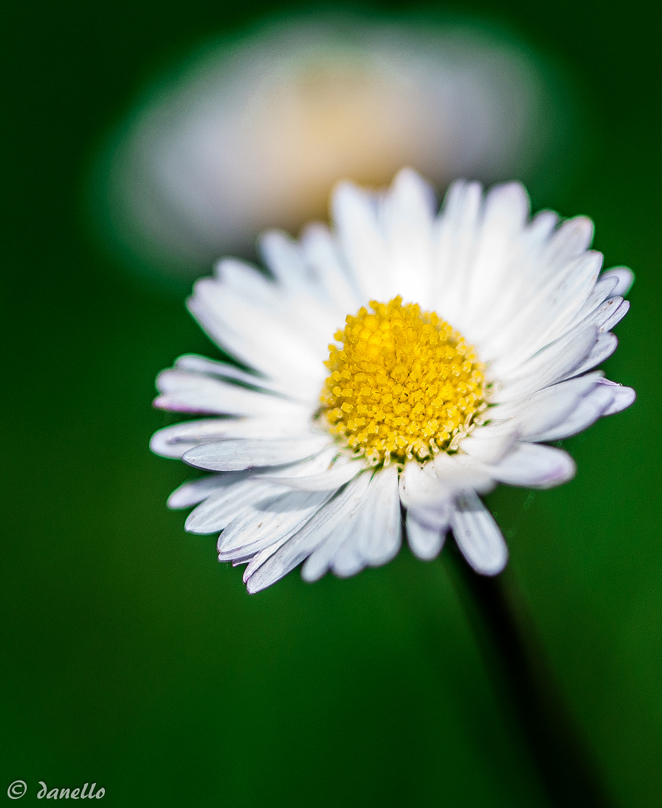 Photograph Stuck on daisies by Danilo T. on 500px