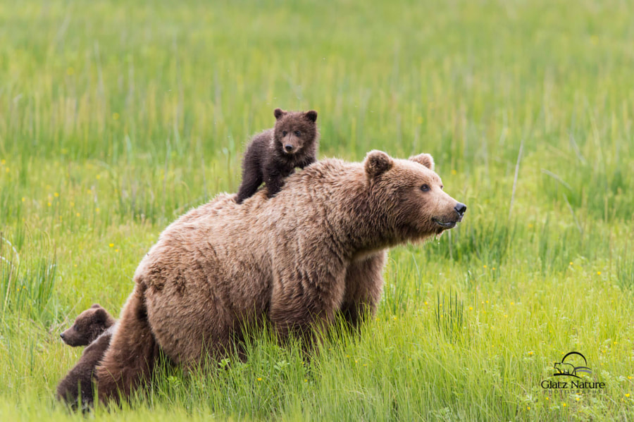Photograph Brown Bear Cub Hitches a Ride by David & Shiela Glatz on 500px
