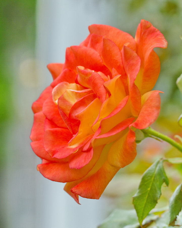 Photograph Bright Rose by Mike Oberg on 500px