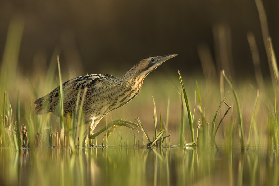 Photograph bittern by Jamie Hall on 500px