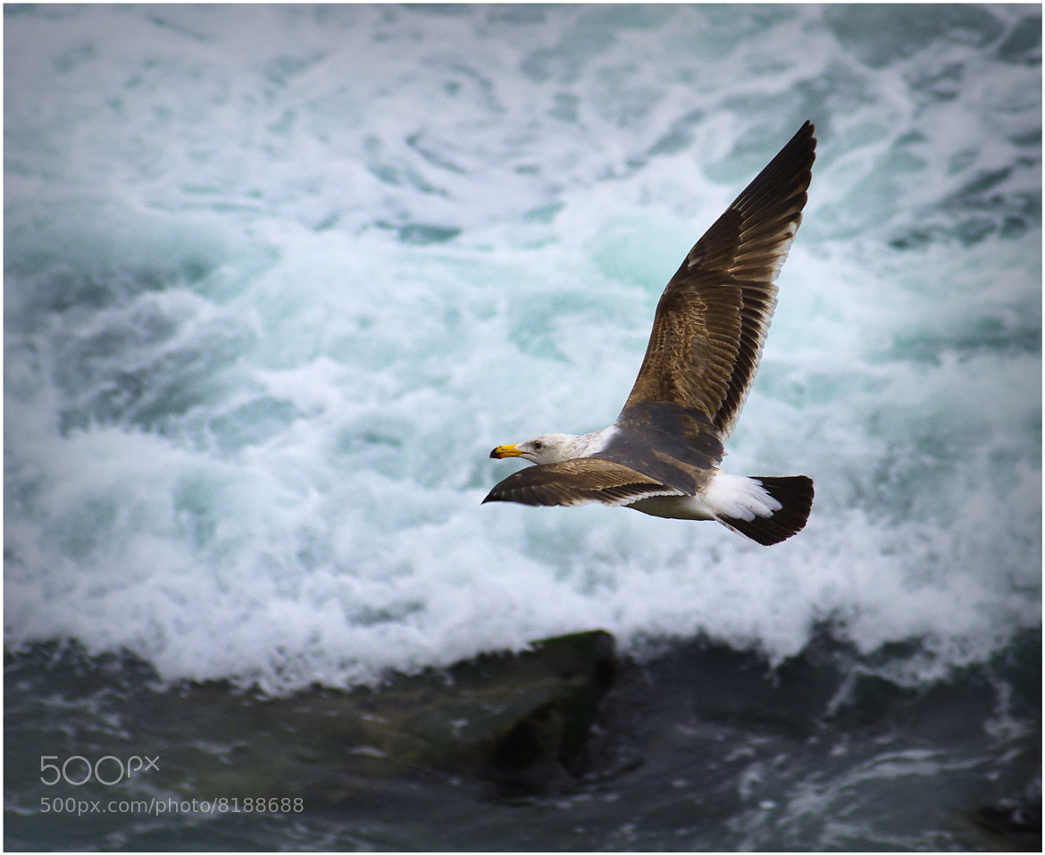 Photograph Sea Gull by Stevan Tontich on 500px
