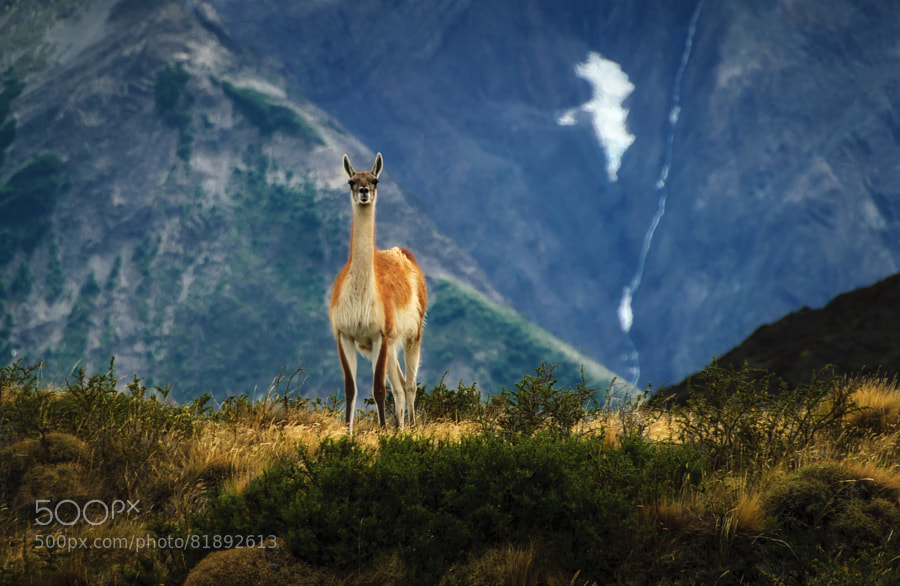 Photograph Guanaco on the ridge by Eric Schoch on 500px