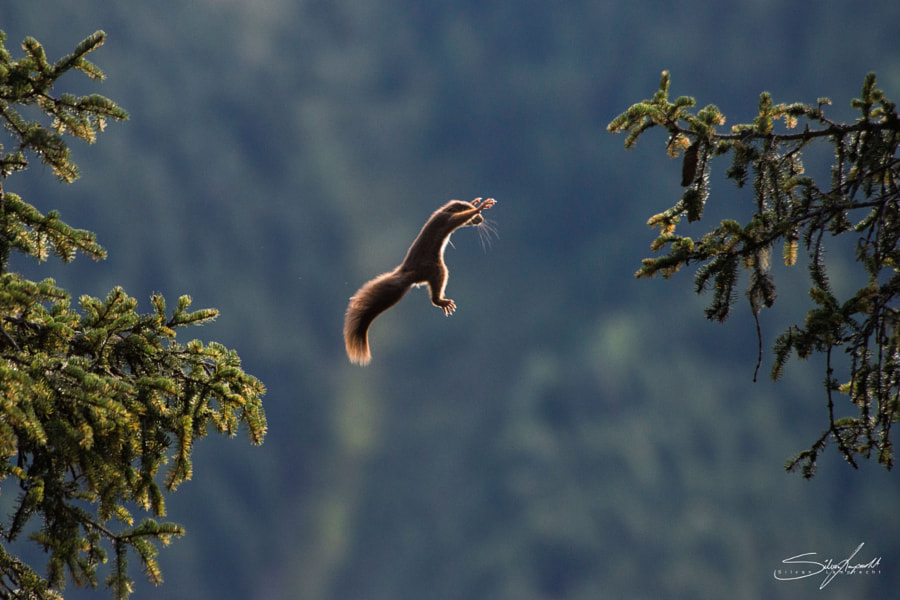squirrel by Silvan Lamprecht on 500px.com