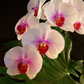Delicate Beauty Phalaenopsis Orchid by Julia Adamson (AumKleem)) on 500px.com
