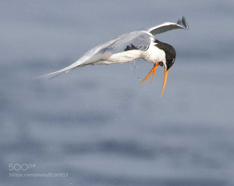 Photograph Mid-air Choking Tern by Salah Baazizi on 500px