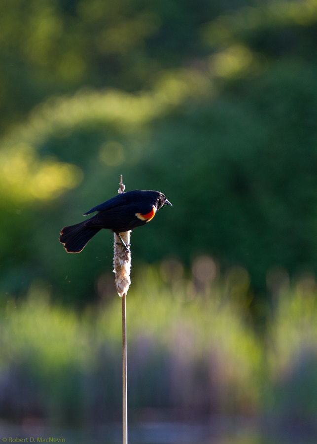 Photograph Redwing by Robert D. MacNevin on 500px