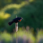 A red-winged blackbird on a bulrush. Taken within the wetland habitat that has been preserved within Jericho Park in Vancouver Canada.  The background bokeh is more bulrushes in the golden hour light.