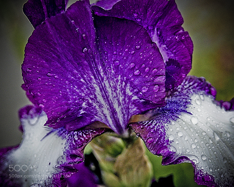 Photograph Purple Iris by Keith Johnston on 500px