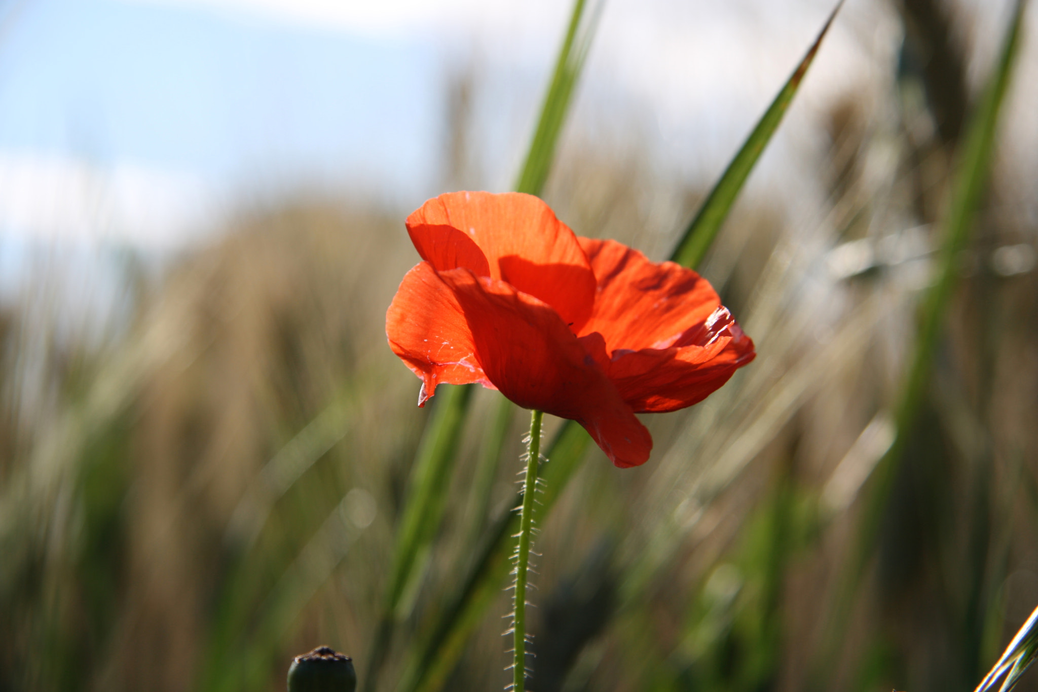 Photograph Coquelicot by Arthur OBEDIA on 500px
